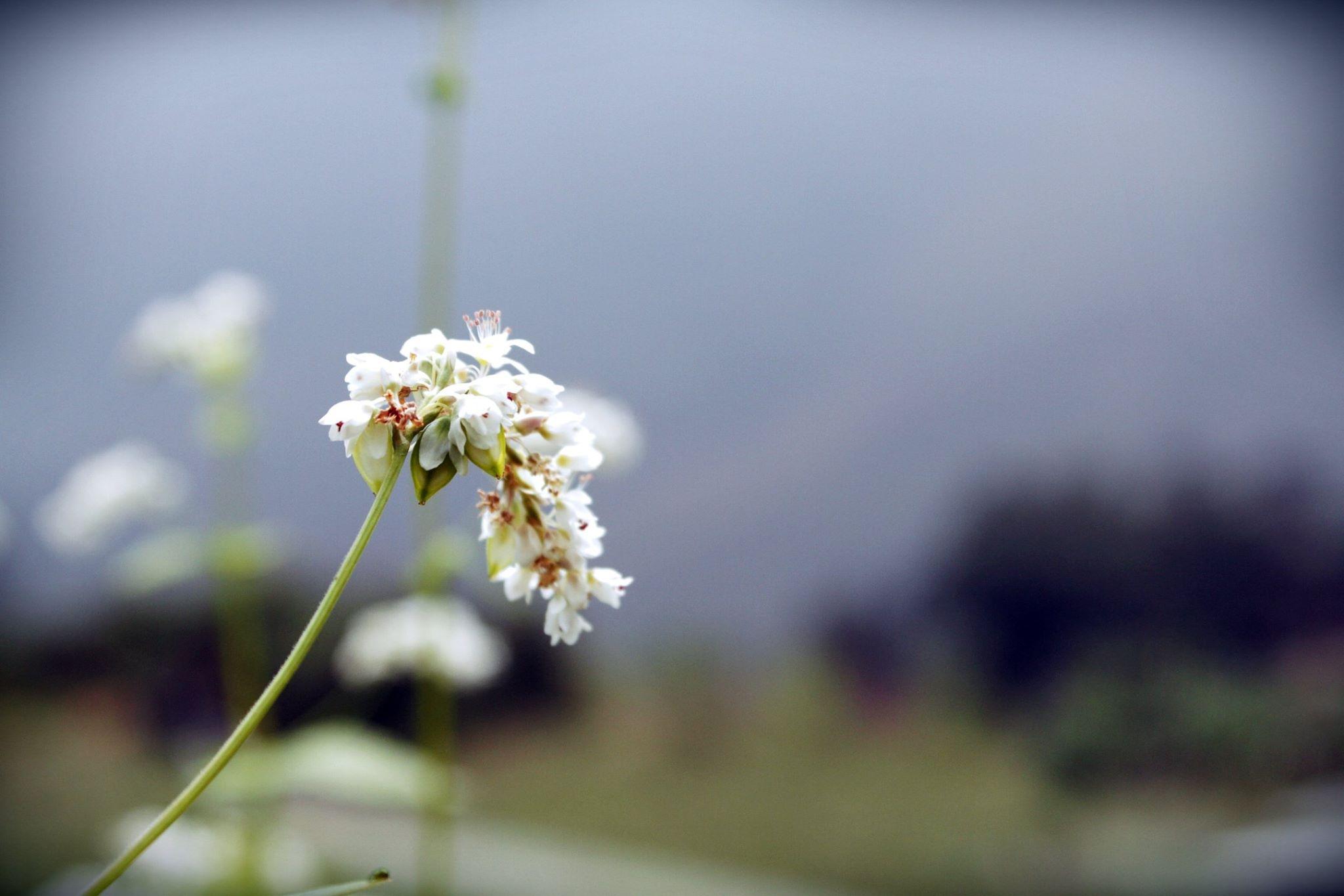 Lên Hà Giang tham gia Lễ hội hoa tam giác mạch lớn nhất năm tháng 10 này